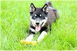 Picture of Fluffy pomsky male