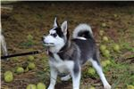 Picture of Perfect pomsky female
