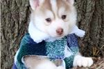 Picture of BEAUTIFUL plush coat pomsky
