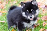 Picture of Tiny pomsky male