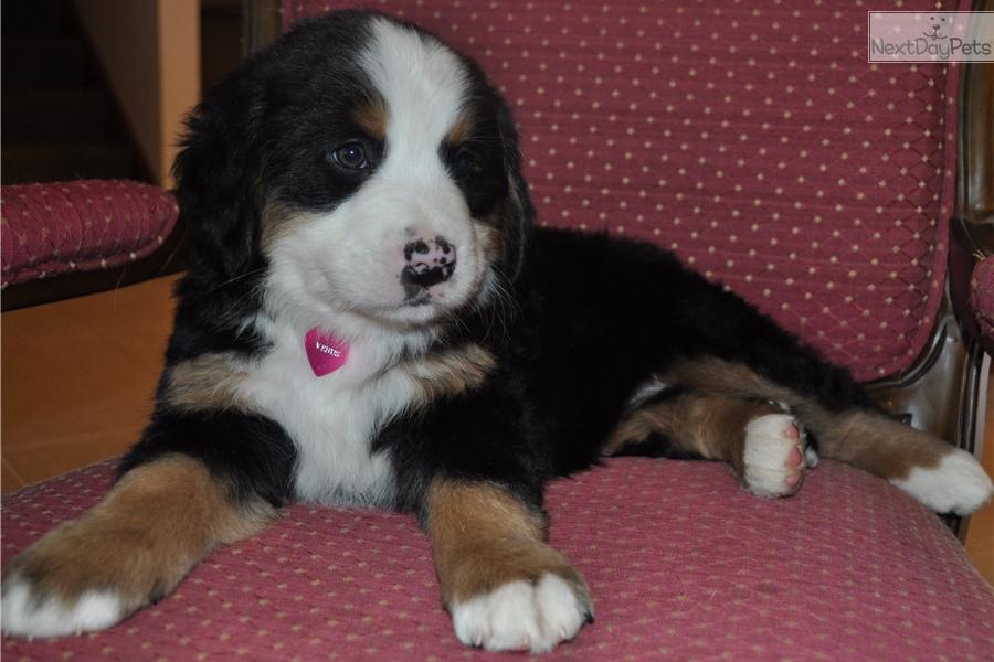 Venus Bernese Mountain Dog Puppy For Sale Near Columbus