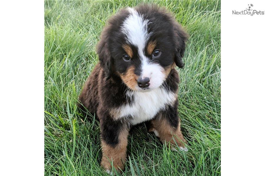Pluto Bernese Mountain Dog Puppy For Sale Near Columbus