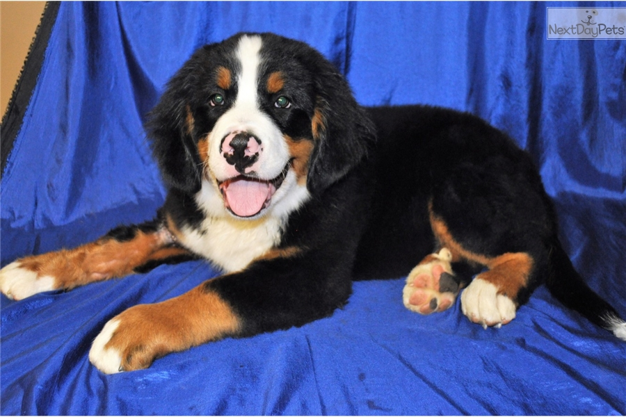 Leo Bernese Mountain Dog Puppy For Sale Near Columbus Ohio