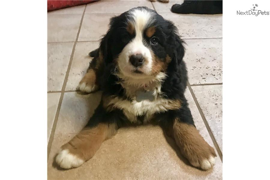 Bernie Baby Indie Bernese Mountain Dog Puppy For Sale Near Columbus