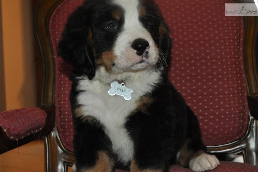 Titan Bernese Mountain Dog Puppy For Sale Near Columbus
