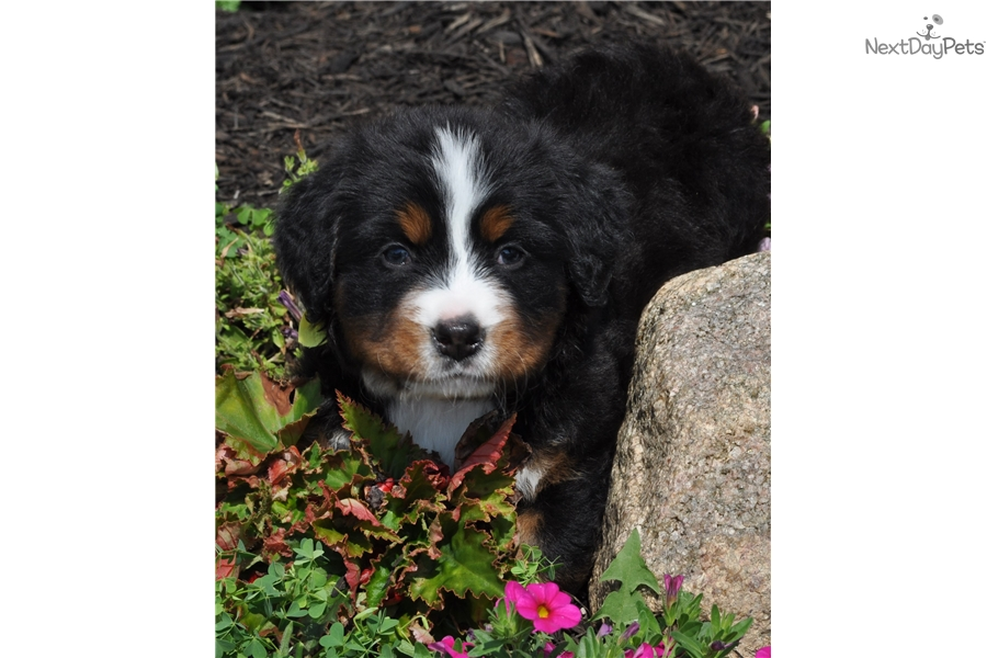 Daisy Bernese Mountain Dog Puppy For Sale Near Columbus Ohio