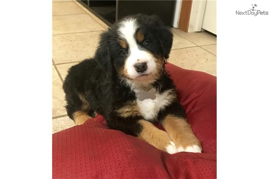 Bernie Baby Lulu Bernese Mountain Dog Puppy For Sale Near