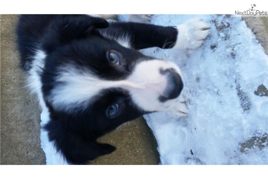 Beeper Border Collie Puppy For Sale Near Akron Canton Ohio