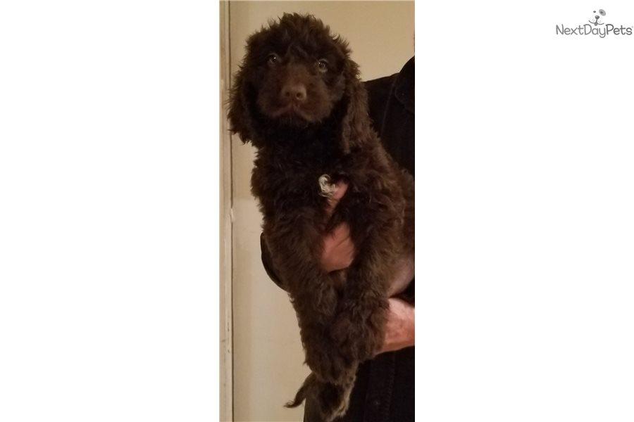 Newfypoo: Newfoundland puppy for sale near Kansas City