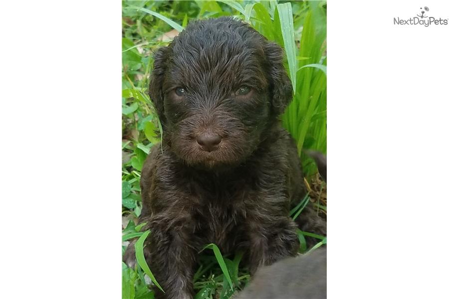 Newfoundland Litter Newfoundland Puppy For Sale Near