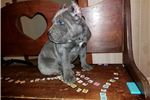 Picture of Cane Corso pup