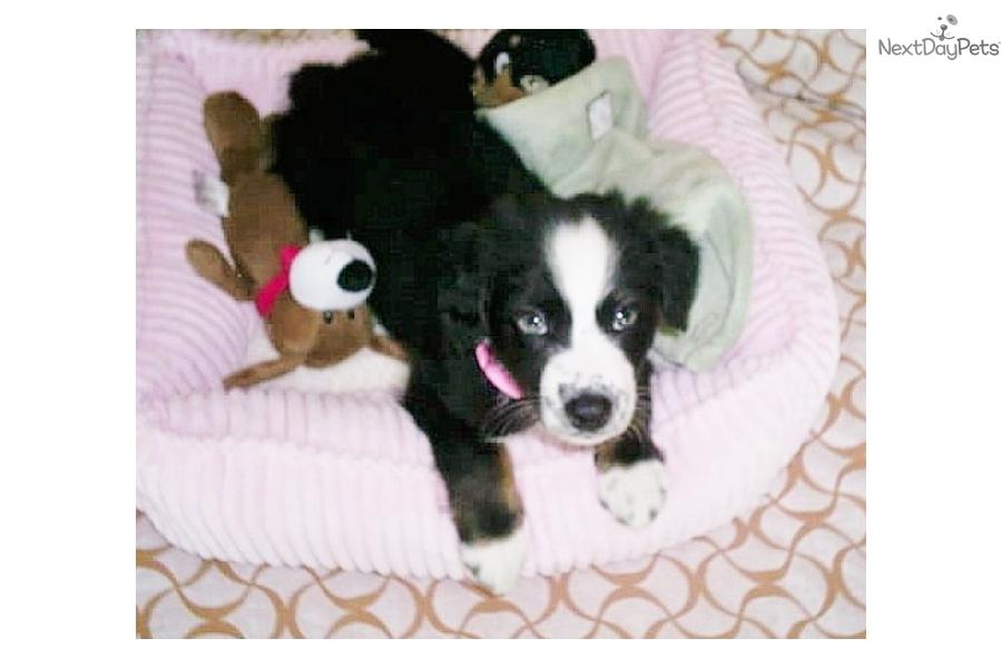 Puppy Reservations Australian Shepherd Puppy For Sale Near Eastern