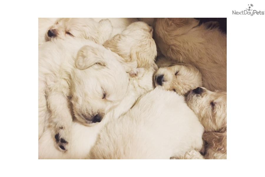 English Golden Retriever Puppy For Sale Near Western Massachusetts