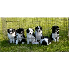 View full profile for Hawk Creek Border Collies