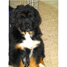 View full profile for Asra Tibetan Mastiffs