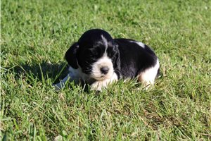 Picture of AKC Oreo