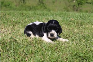 Picture of AKC Daisy