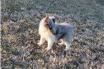 Picture of AKC Holly