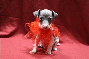 CH AKC Champ - Italian Greyhound for sale