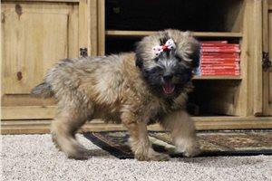 AKC Mya - Soft Coated Wheaten Terrier for sale