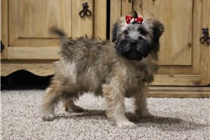 AKC Madison - Soft Coated Wheaten Terrier for sale
