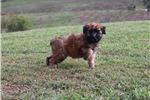 Picture of AKC GYPSEY