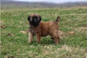AKC Lacy - Soft Coated Wheaten Terrier for sale