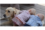 Featured Breeder of English Golden Retrievers with Puppies For Sale