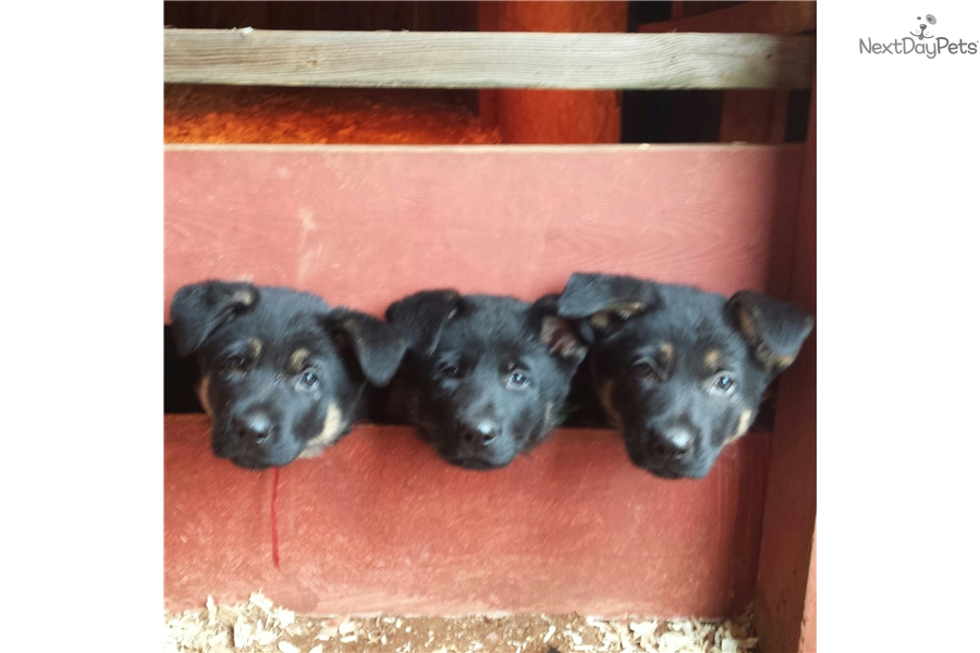 Blue German Shepherd Puppy For Sale Near Hickory Lenoir North
