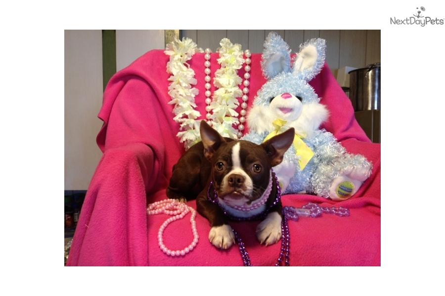 Eva Boston Terrier Puppy For Sale Near Fort Smith Arkansas