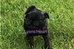 Picture of Full AKC Reg. Male Pug