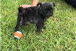 Picture of Full AKC Reg Male Pug