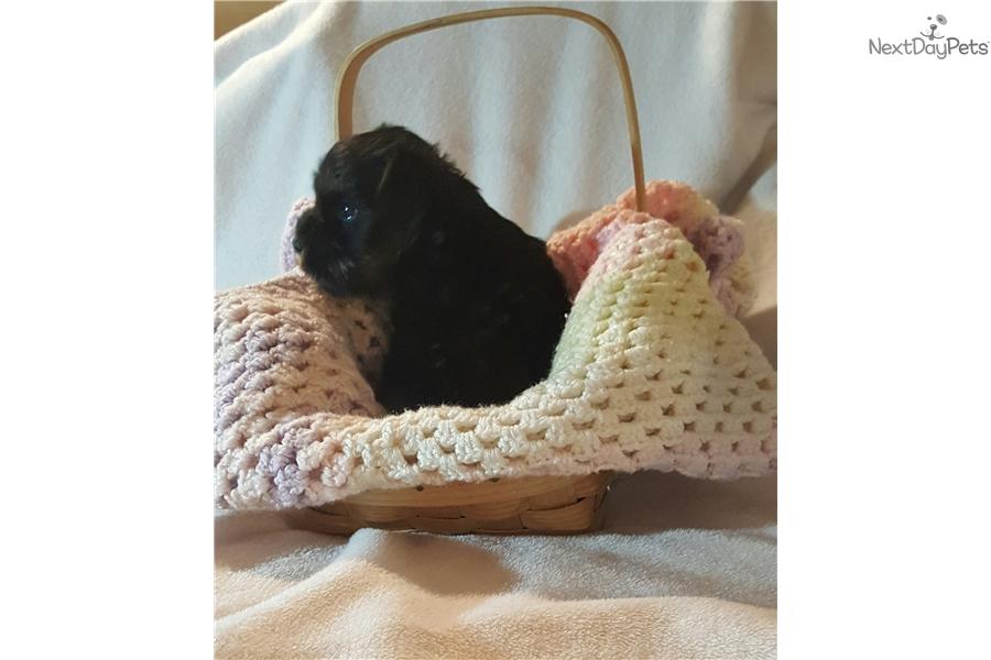 Blacky: Schnauzer, Miniature puppy for sale near Binghamton, New