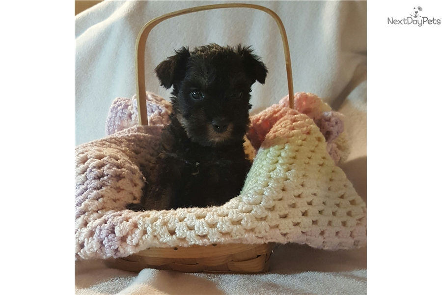 Blacky: Schnauzer, Miniature puppy for sale near Binghamton, New