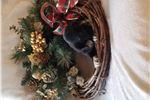 Picture of AKC Black Male Cocker Spaniel