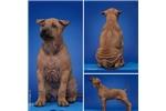 Picture of Thai ridgeback puppy