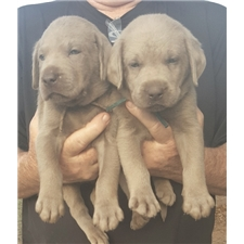 View full profile for Son Of A Gun Silver Labs
