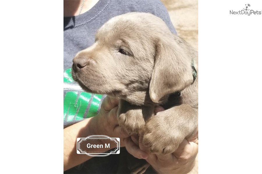 Labrador puppies for sale san antonio tx