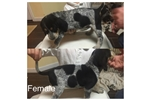 Picture of UKC Bluetick Coonhound
