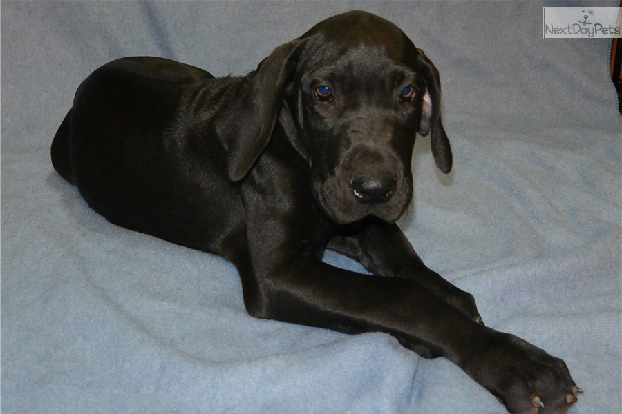 Brown Female: Great Dane puppy for sale near Houston ...