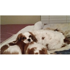 View full profile for Laciekay's Cavaliers