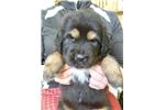 Picture of a Tibetan Mastiff Puppy