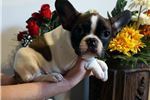 Picture of FrenchieZ Pups, Nellie