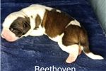 Picture of AKC  Beethoven