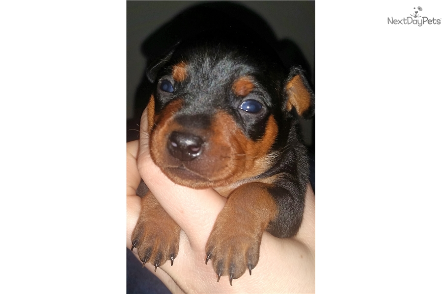 Linik Miniature Pinscher Puppy For Sale Near Hampton Roads
