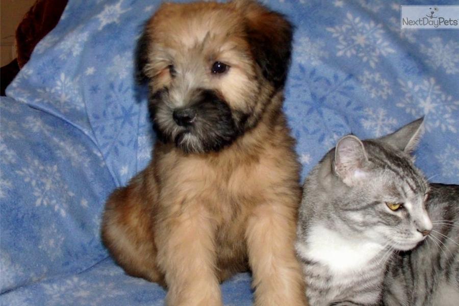 Wheaten : Soft Coated Wheaten Terrier puppy for sale near Phoenix
