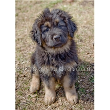View full profile for Indira Tibetan Mastiffs