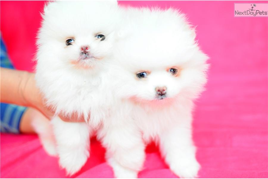 Pomeranian Puppy For Sale Near Houston Texas E13be5bf A531