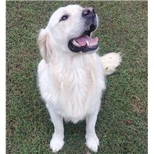 View full profile for Mountain Creek Goldens