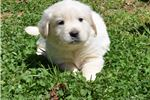 Picture of Akc Christmas puppies due soon!